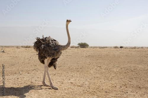 Stickers pour portes Autruche Ostrich on desert landscape