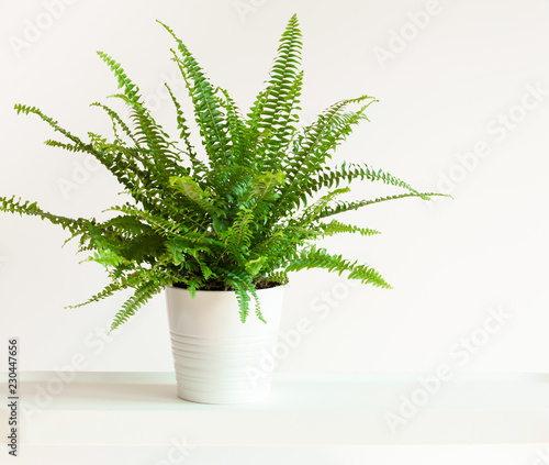 Cuadros en Lienzo houseplant Nephrolepis in white flowerpot