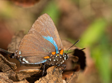 Great Purple Hairstreak Butterfly Resting On A Dry Persimmon Leaf In Fall Sunshine