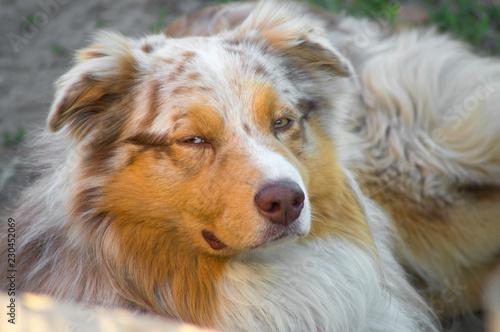 Portrait of a pedigree stately dog happy smiling Australian Shepherd purebred Au Canvas Print