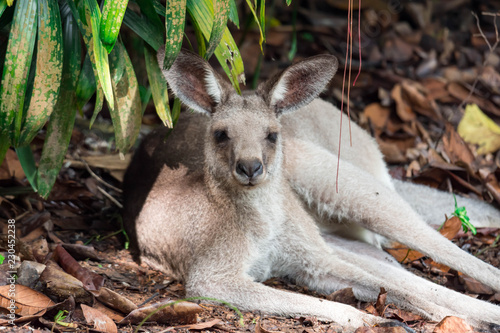 Eastern grey kangaroo Macropus giganteus curiously looking and observing