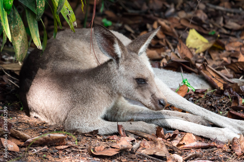 Foto op Canvas Kangoeroe Eastern grey kangaroo Macropus giganteus curiously looking and observing