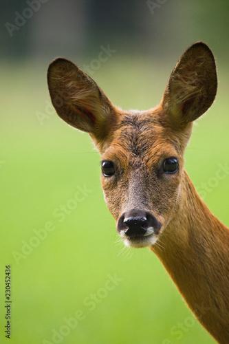 Fototapeta Roe deer portrait
