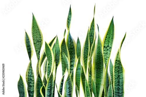 zieleni-liscie-sansevieria-trifasciata-waz-roslina-odizolowywajaca-na-bialym-tle