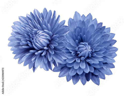 Photo sur Toile Dahlia Blue flower chrysanthemums; on a white isolated background with clipping path. Closeup. no shadows. For design. Nature.