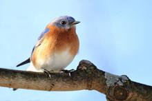 A Male Eastern Bluebird Sits O...