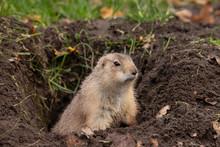 Prairie Dog, Cynomys