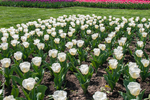 Тюльпан/Tulip