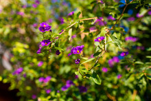 Blue Potato Bush Purple Flowers