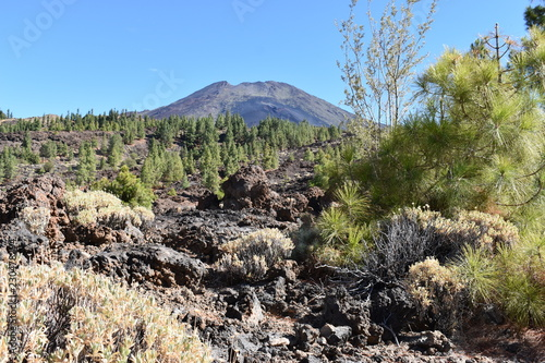 Foto op Plexiglas Grijze traf. Hiking trail with many green pines and Pico Viejo Volcano Mountain near the big famous volcano Pico del Teide in Tenerife, Europe