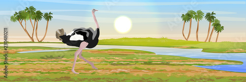 African ostrich walks on the savannah. River and palm trees on the horizon. Wildlife of Africa. Realistic vector landscape.