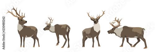 Set of wild reindeer. Carib...