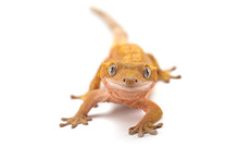 Lizard Gecko Isolated On White Background