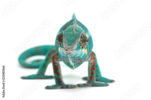 Foto auf Leinwand Panther Blue lizard Panther chameleon isolated on white background