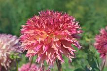 Dahlia  Blossom  Plant Blend Of Mauve And Peach Color