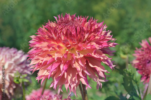 Foto op Plexiglas Dahlia Dahlia blossom plant blend of mauve and peach color