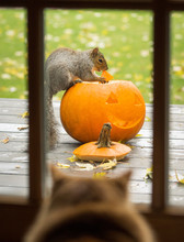 Squirrel Eating A Carved Hallo...