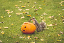 Squirrel Eating A Carved Halloween Pumpkin Among Fall Leaves