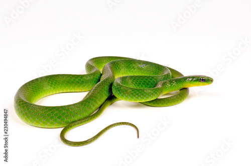Chinesische Grasnatter (Cyclophiops major) - greater green snake