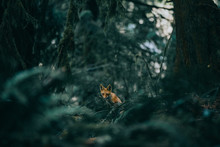 A Fox In A Forest