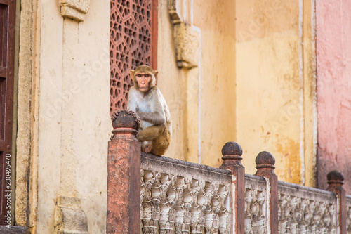 Foto op Plexiglas Aap Singe en ville au Rajasthan en Inde Bâtiment