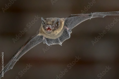 Flying Pipistrelle bat close up