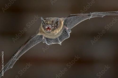 Flying Pipistrelle bat close up