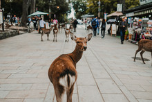 .Deer Of Nara. Nara Prefecture...