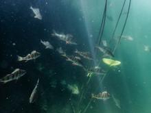 School Of Fish Swimming Underw...