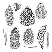 Set Of Hand Drawn Pine Cones.Vector Sketch  Illustration.