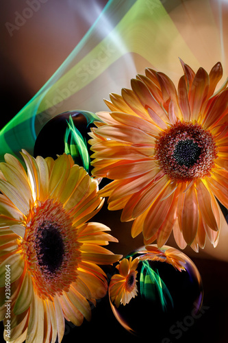Poster Gerbera Two orange gerberas and improvization by green and blue light in black background