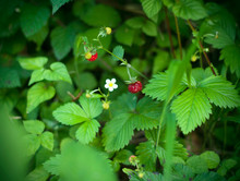 Wild Strawberry Growing In Gre...