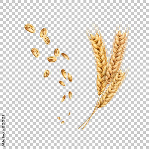 Fototapeta Vector wheat ears spikelets realistic with grains obraz