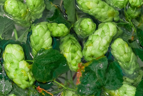 Keuken foto achterwand Kruiderij Green fresh hop cones in water for making beer