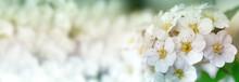 Closeup Of Flowering Shrub Bridal Wreath Spirea Floral Background.