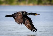 Cormorant Flyby