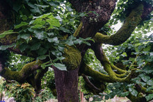 Gnarled Tree Overgrown With Moss