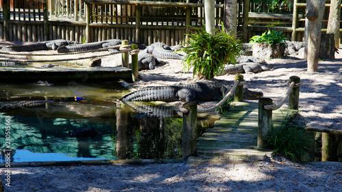 A group of Alligators gather near the edge of a pond, St. Augustine Alligator farm, St. Augustine, FL