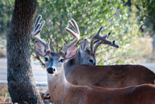 Bucks In The Yard