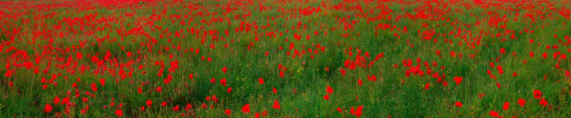 Fototapeta Maki Beautiful red poppies field landscape
