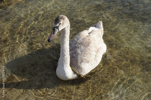 Cygne marron