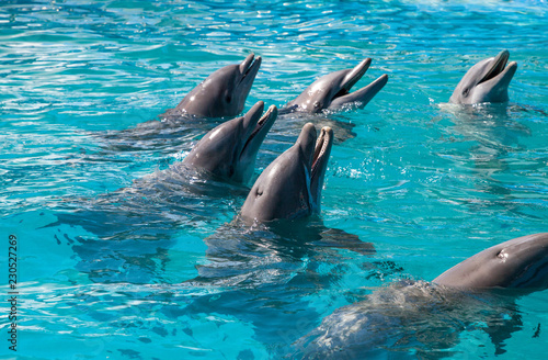 Foto op Aluminium Dolfijn Bottlenose dolphin Tursiops truncatus swims along the shoreline of Key West