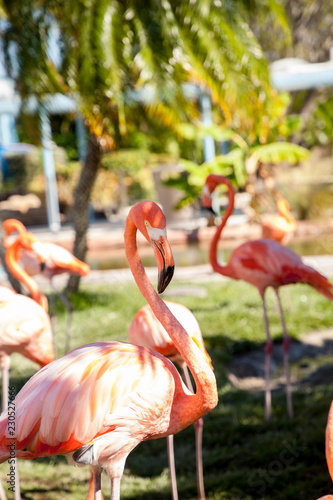 Foto op Canvas Flamingo Pink Caribbean flamingo, Phoenicopterus ruber, in the middle of flock flamingos