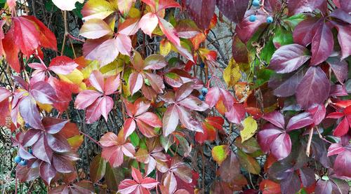 Foto Beautiful virginia creeper foliage in autumn