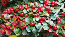 Red Berries (cotoneaster Horizontalis) Background