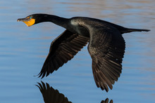 Flying Cormorant