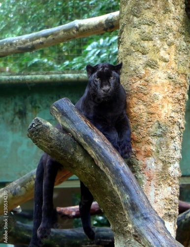 Black panther (Panthera pardus) sitting on tree branch,  also known as black jaguars (Panthera onca).
