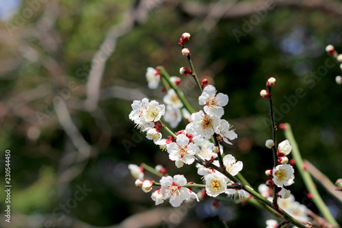 Poster Lente Japanese plum blossoms in early spring