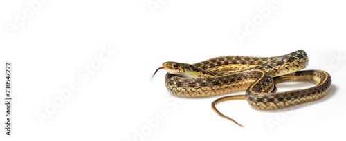 Garter snake curled up, tongue out, on white: wide Poster Mural XXL