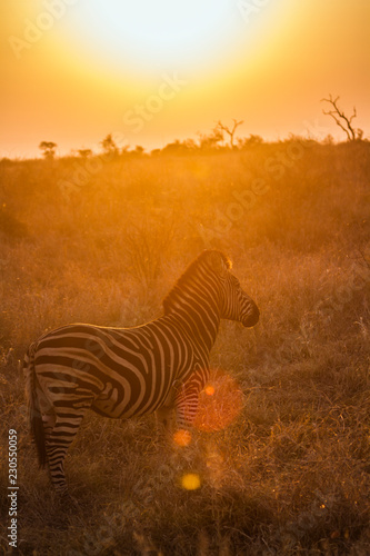 Poster Zebra Plains zebra in Kruger National park, South Africa